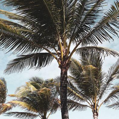 Destination Saint-Barth : Palmiers